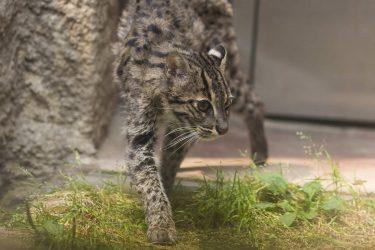 漁が得意なスナドリネコは泳ぐ猫!日本の動物園や水族館にいる?