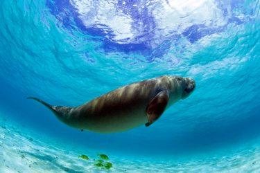 ジュゴンは日本では沖縄にいたが絶滅?港湾開発が原因?生態など