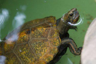 ニホンイシガメは在来種の亀。生態や寿命は?飼育方法も!