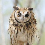ウサギフクロウはかわいい!ぴょこぴょこしている長い耳!