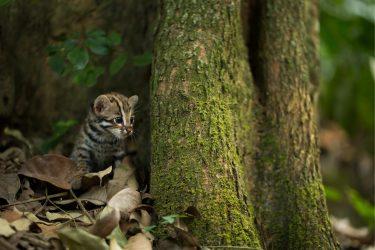 ベンガルヤマネコは仲間が多くて、かわいい猫!ペットにできる?