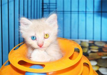 トルコ原産の美しすぎる猫!ターキッシュアンゴラの特徴や魅力は?