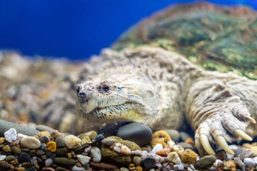 カミツキガメは加藤英明先生が大好きな亀!噛む力が強い!ペットにできる?