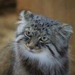 マヌルネコは世界最古の猫!生息数が減少?丸い耳もかわいい!