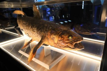 生きた化石代表「シーラカンス」謎の生態!寿命,味は?水族館で見れる?
