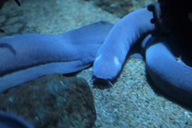 ヌタウナギのサメも逃げる粘液とは?味は?別名は棒アナゴ!