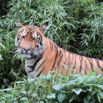 アムールトラは世界一大きいネコ科の動物で最強!絶滅危惧種?