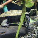 ニホンイシガメは在来種の亀。生態や寿命は?なつく?