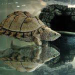 人気カブトニオイガメまとめ!大きさによる寿命や餌、飼育方法