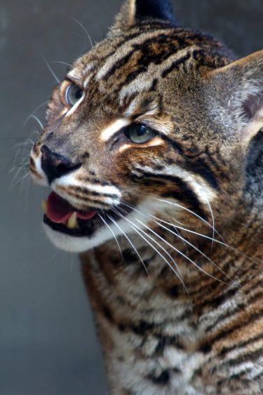 アジアゴールデンキャットは生息数が減少!その生態は?日本の動物園でみれる?