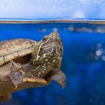 ミシシッピニオイガメの生態まとめ!寿命、餌、飼育方法は?