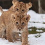 百獣の王ライオンは最強動物だけど絶滅危惧種?赤ちゃんは可愛い