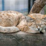 スナネコは耳が三角で可愛い!なつく?日本の動物園で見れる?