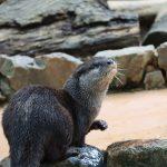 コツメカワウソを探しに埼玉の動物園に行ってみた!生態も調査!実は絶滅危惧種。