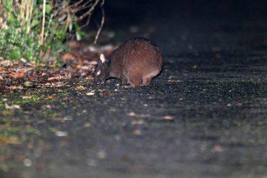 アマミノクロウサギの生態!天然記念物!生息数激減の原因は?