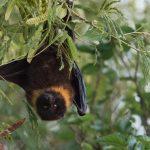 オオコウモリがペットに!?別名フルーツコウモリの生態と飼育方法!