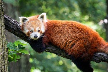 可愛いレッサーパンダに会うために昭和レトロな動物園まで行ってみた!生態も!なつく?
