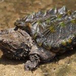 ワニガメは加藤英明先生が大好きな亀!噛む力が強い!絶滅の危機?ペットにできる?