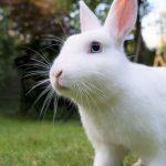 ネザーランドドワーフは小さくてかわいいウサギ!生態や寿命も