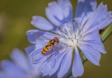 チコリーの花は青い。食用の葉は白や紫色!味は苦い?リクガメの食いつきも良い!