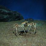 巨大蟹「タカアシガニ」の愛すべき生態。料理の旬は?味は?生息地も!