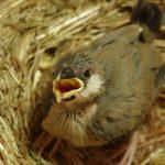 手乗り文鳥の飼育方法はこれだ!雛から育てると、なつく!愛情を持って優しく接しよう