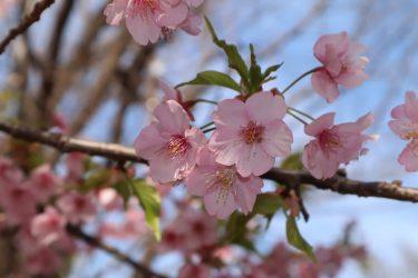 桜の大きさなど生態について!梅との違いは?蜜はメジロも好物!